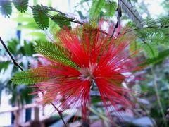 Brasilianische Puderquaste (Caliandra tweedii)