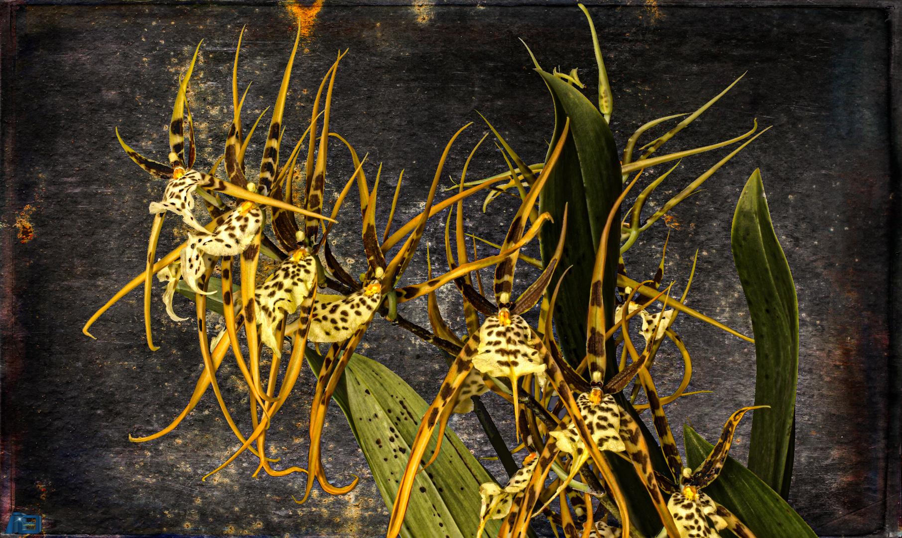 Brassia Art
