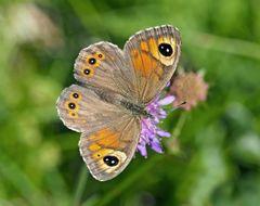 Braunauge (Lasiommata maera) - L'Ariane, le némusien, une petite beauté!