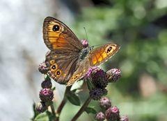 "Braunauge (Lasiommata maera). - Un papillon de jour qui s'appelle ""Ariane""."
