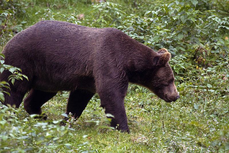 Braunbär 2 im NP Bayr. Wald