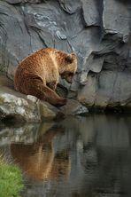 Braunbär am Wasser
