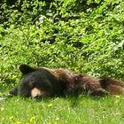Braunbär beim Mittagsschlaf