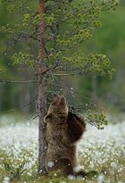 Braunbär beim Spielen