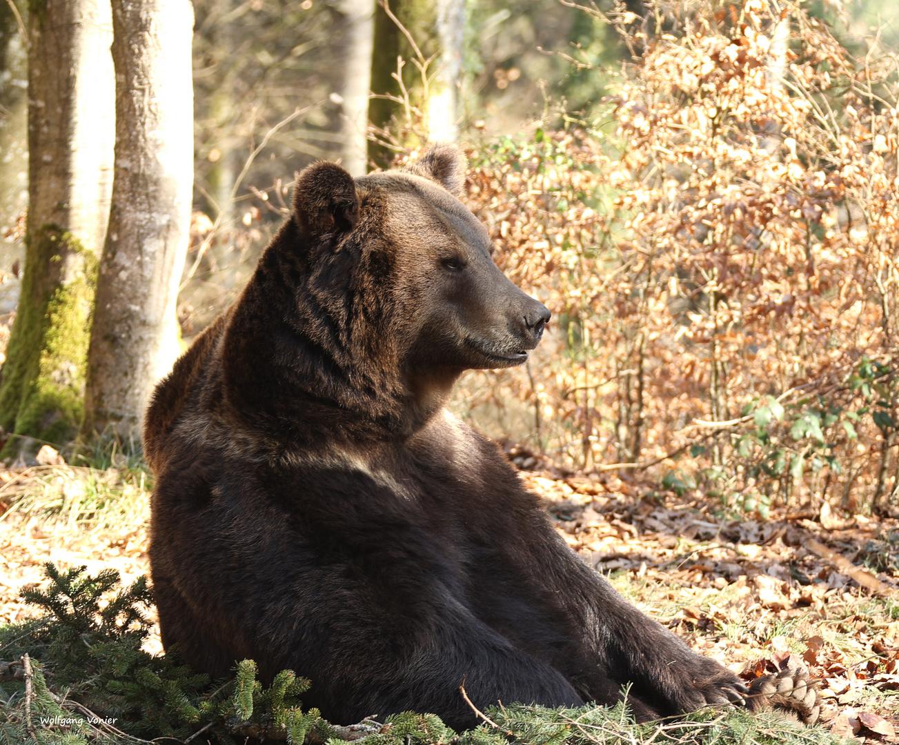 Braunbär genießt die ersten Sonnenstrahlen