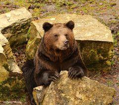 Braunbär im Wild,-und Freizeitpark Allensbach