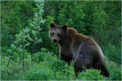 Braunbär in Mittelschweden (Wildlife)