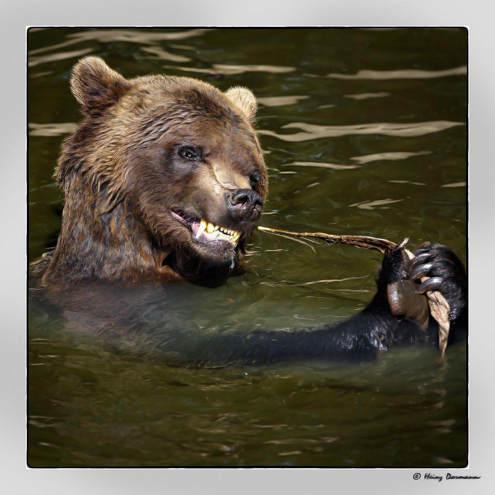 Braunbär Lara beim Baden im Bärenwald