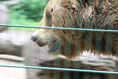 Braunbär, Neunkirchen Zoo, Deutschland, 19.06.2008