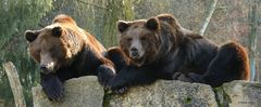 Braunbären