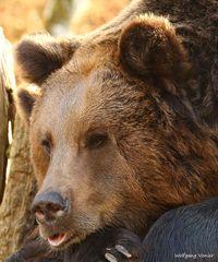 Braunbären I