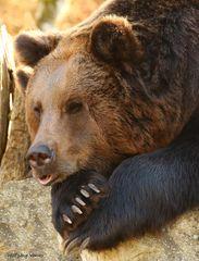 Braunbären II