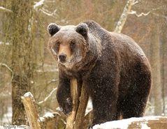 Braunbären III