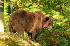 Braunbären im NP BayWald: Die mächtige Bärenmutter