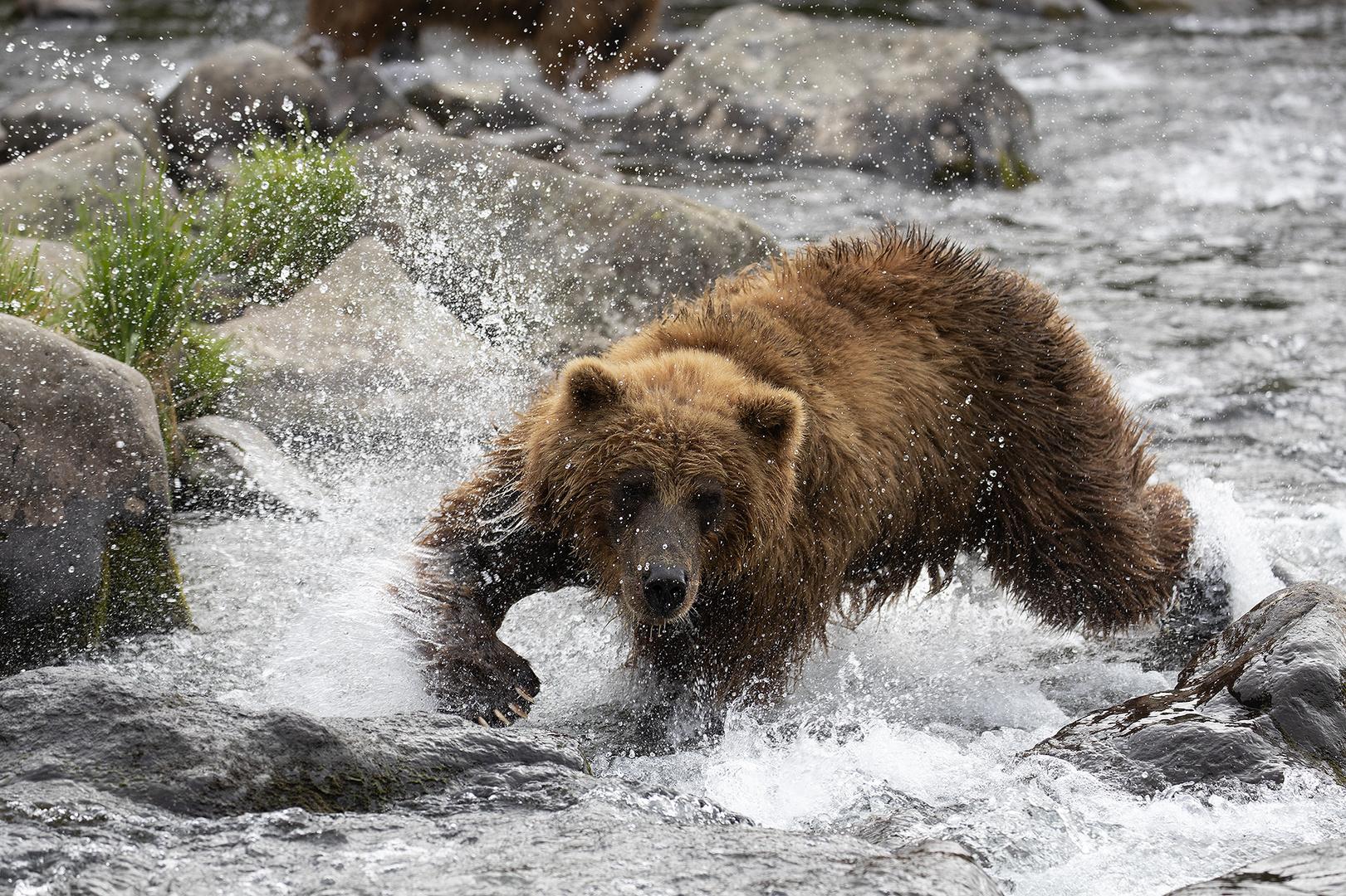 Braunbären in Kamtschatka