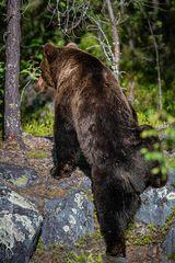 Braunbären sind hervorragene Kletterer.
