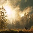 Braunbärin im Great Bear Rain Forest, British Columbia, Kanada