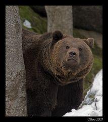 Braunbar Baloo