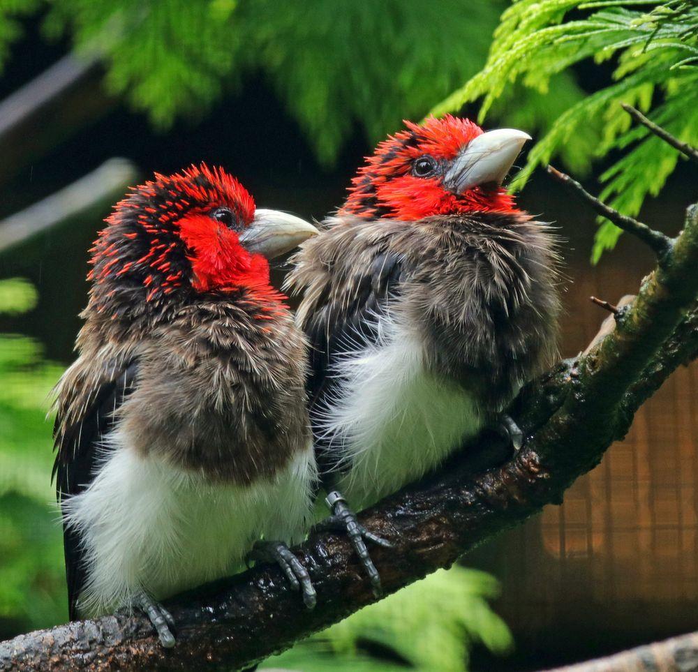 Braunbrust Bartvogel