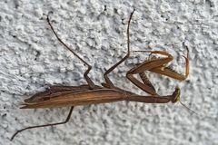 Braune Gottesanbeterin (Mantis religiosa) - La mante religieuse brune...