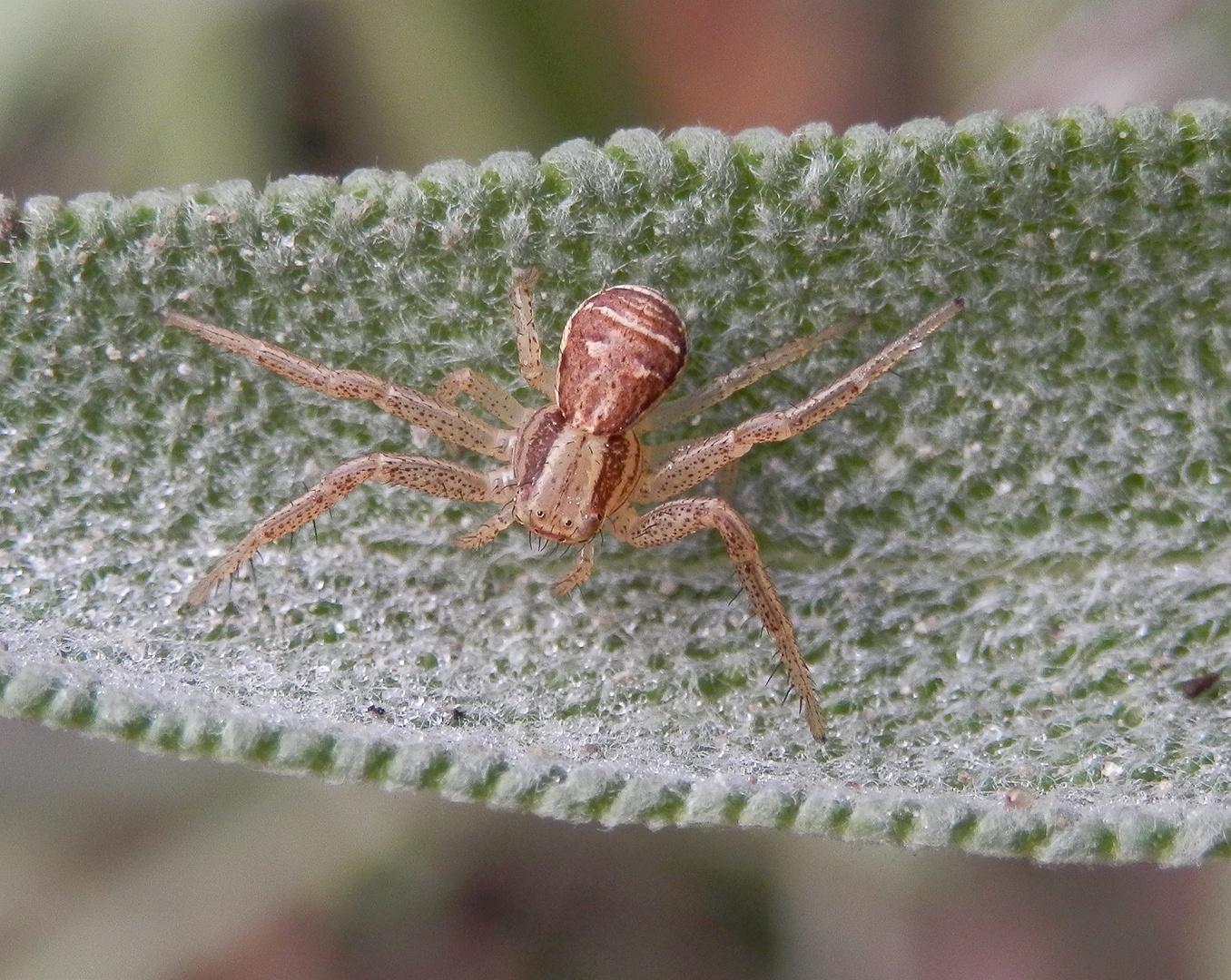 Braune Krabbenspinne (Xysticus ulmi) auf der Lauer