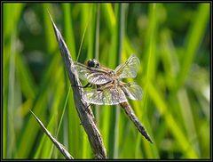 Braune Mosaikjungfer 1 - geändert in Libellula quadrimaculata