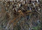 Braune Mosaikjungfer bei der Eiablage