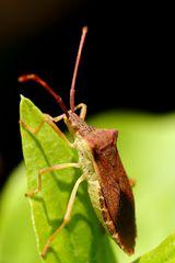Braune Randwanze (Gonocerus acuteangulatus)