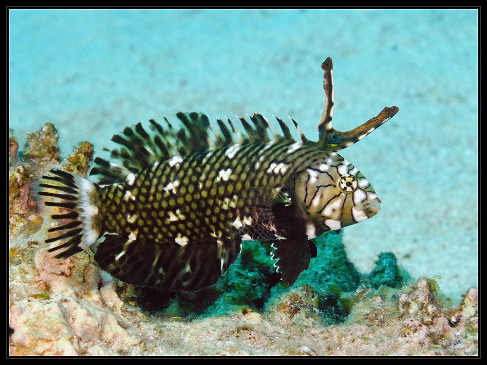 Brauner Bäumchenfisch juvenil