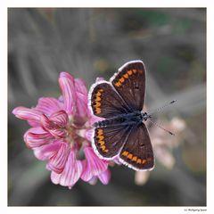 Brauner Bläuling (Polyommatus agestis)