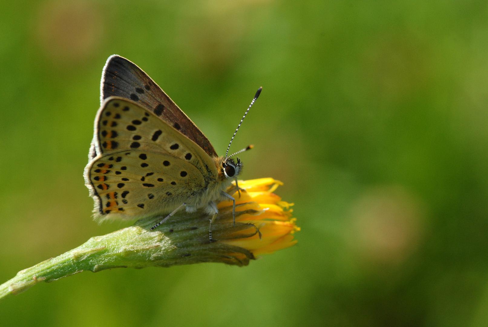 ,, Brauner Feuerfalter ( Lycaena tityrus ) 2 ,,
