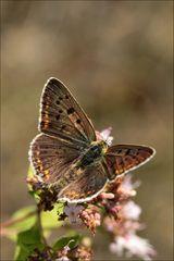 Brauner Feuerfalter (Lycaena tityrus) Männchen