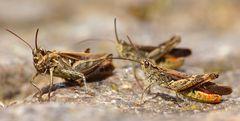 Brauner Grashüpfer (Chorthippus brunneus, syn. Glyptobothrus brunneus)   ...auf Brautschau