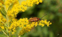 Brauner Käfer auf gelber Blüte