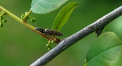Brauner Käfer im Geäst