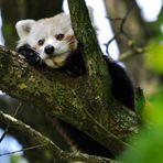 Brauner Panda