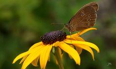 Brauner Schmetterling