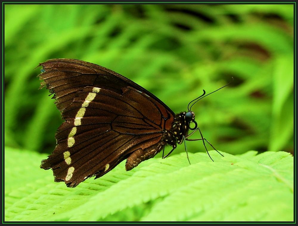 Brauner Schmetterling auf grünem Farn