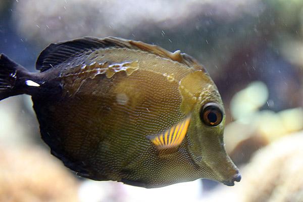 Brauner Segelflossen Doktorfisch