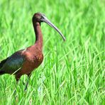 Brauner Sichler (Plegadis falcinellus), glossy ibis, Morito comun