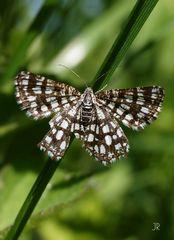 Brauner, weiß gefleckter Schmetterling