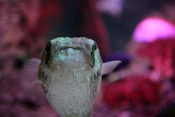 Braunflecken Igelfisch