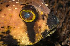 Braunflecken-Igelfisch ?
