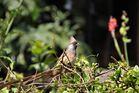 Braunflügel-Mausvogel - Colius striatus