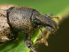 Braungrauer Glanzrüßler (Polydrosus cervinus)