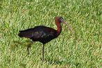 Braunsichler - Glossy Ibis (Plegadis falcinellus) ...