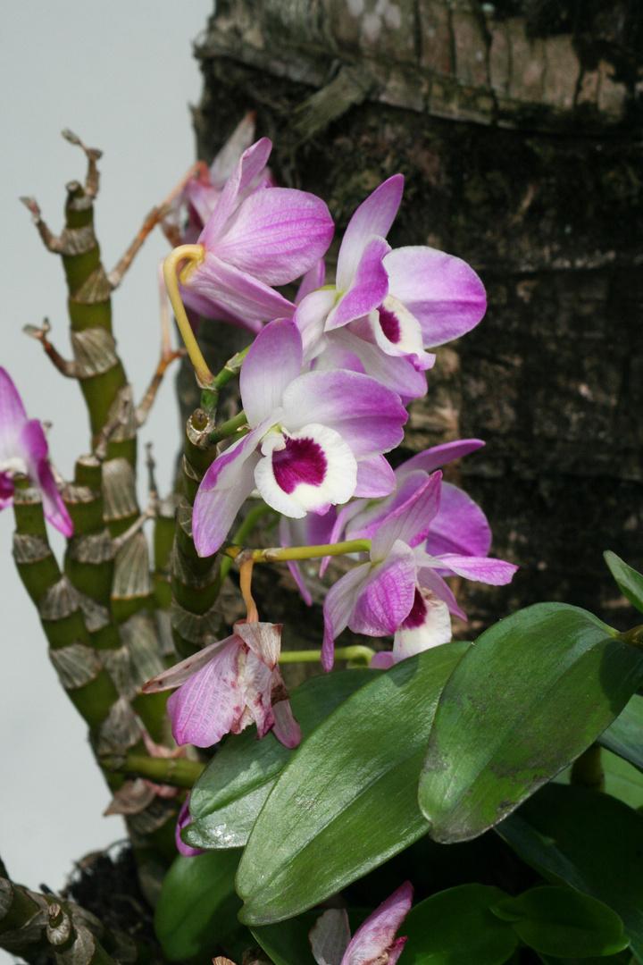 Brazilian Orchid in Barra da Tijuca