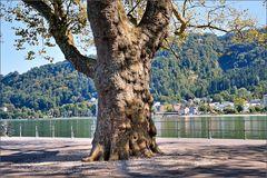 Bregenz- Alter Baum