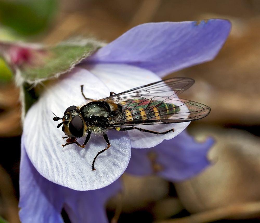 Breitkopf-Frühlingsschwebfliege (Melangyna labiatarum) auf Leberblümchen! *