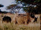 """"""" Breitmaul Nashörner """" Südafrika Safari * 4 *"""